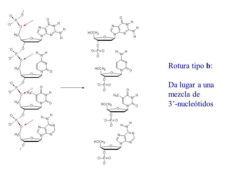 Rotura tipo b: Da lugar a una mezcla de 3-nucleótidos