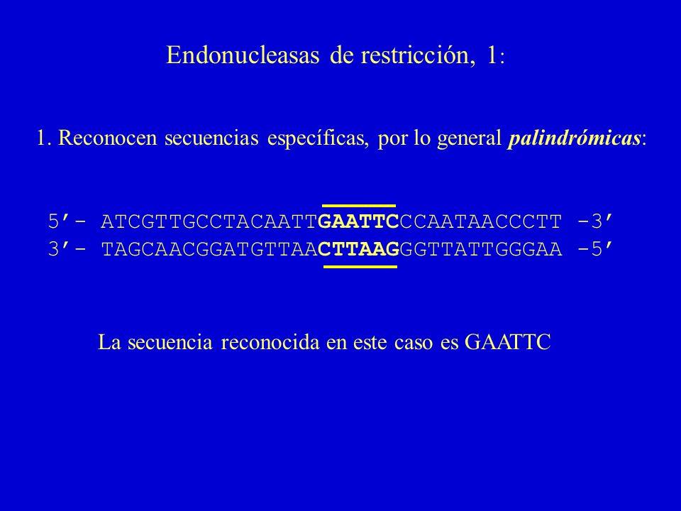 Endonucleasas de restricción, 1 : 1. Reconocen secuencias específicas, por lo general palindrómicas: 5- ATCGTTGCCTACAATTGAATTCCCAATAACCCTT -3 3- TAGCA