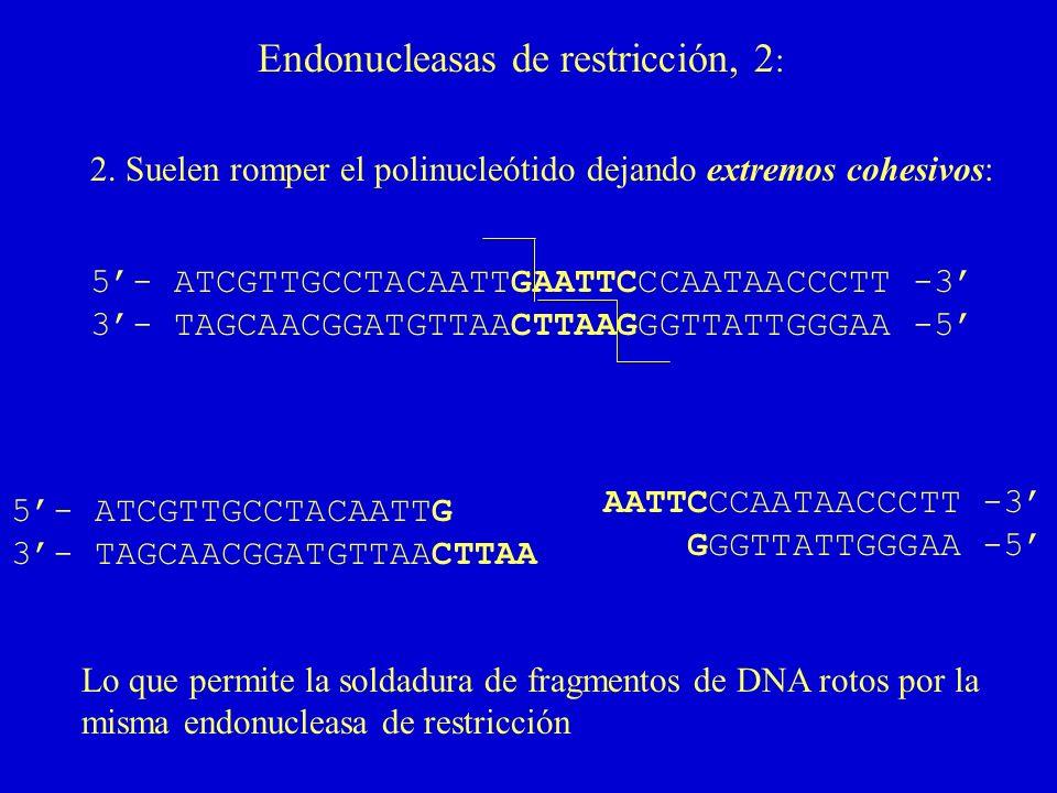 Endonucleasas de restricción, 2 : 2.