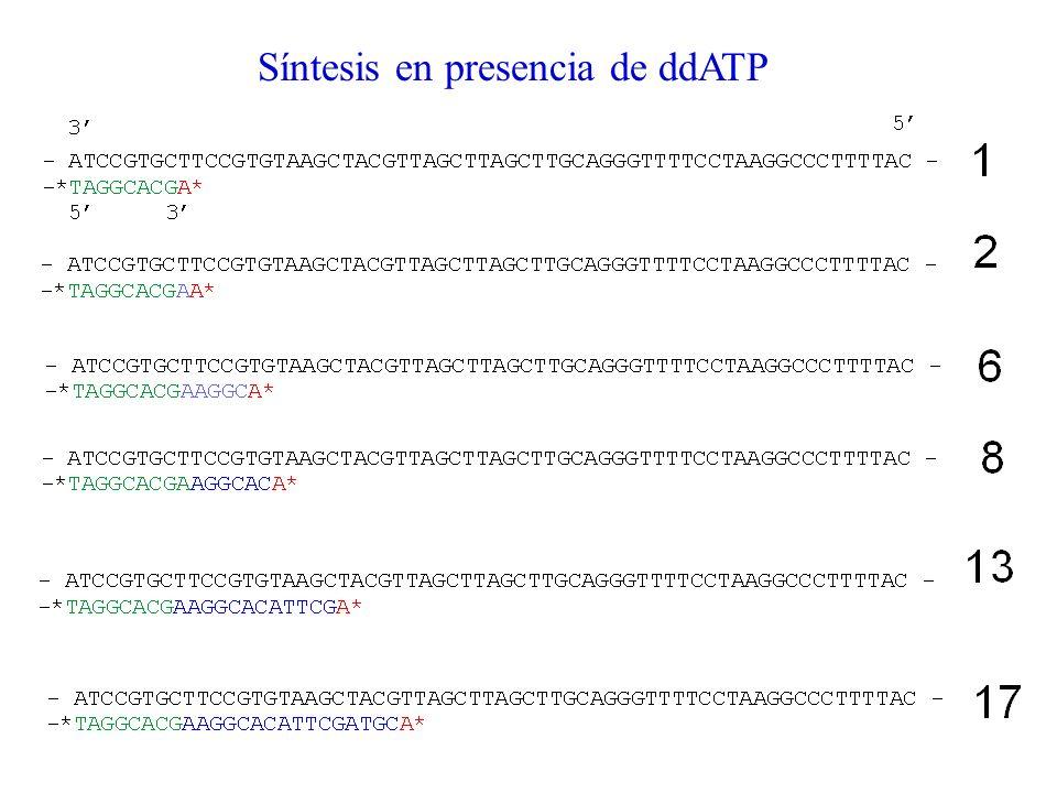 Síntesis en presencia de ddATP