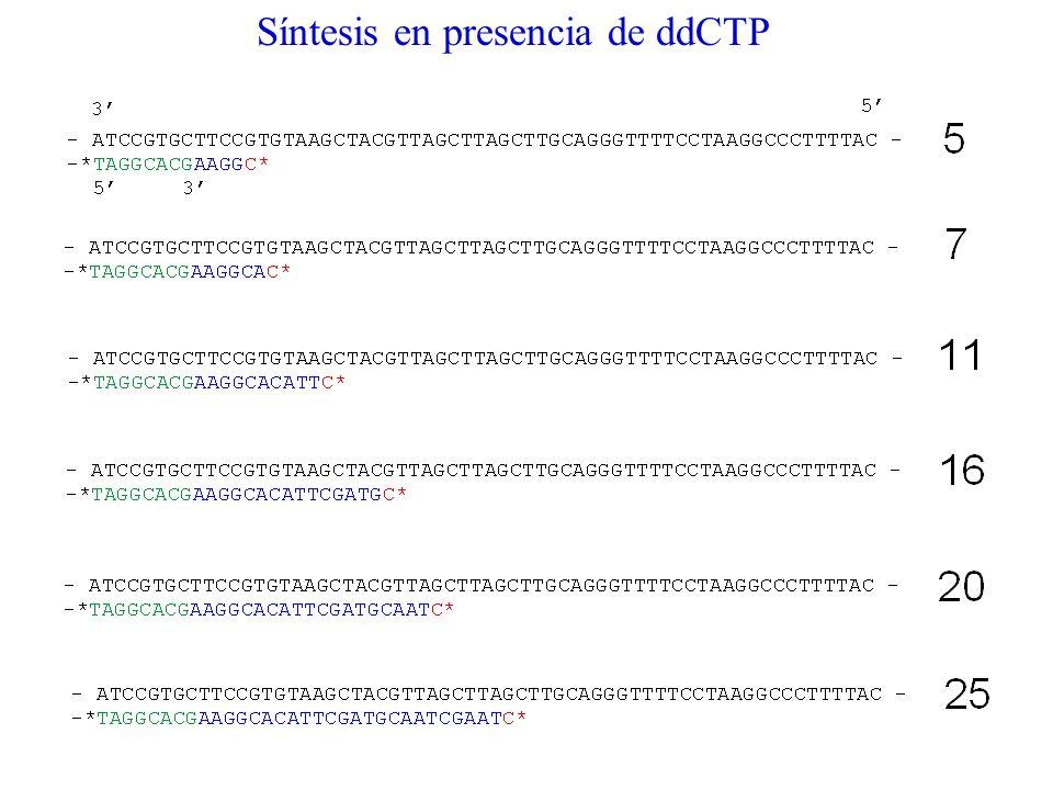 Síntesis en presencia de ddCTP