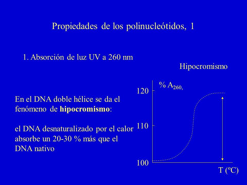 Propiedades de los polinucleótidos, 1 1. Absorción de luz UV a 260 nm % A 260, Hipocromismo T (ºC) 100 110 120 En el DNA doble hélice se da el fenómen