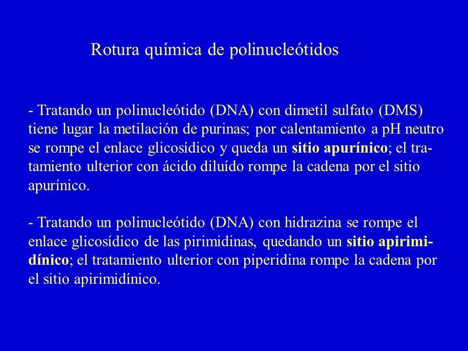Rotura química de polinucleótidos - Tratando un polinucleótido (DNA) con dimetil sulfato (DMS) tiene lugar la metilación de purinas; por calentamiento a pH neutro se rompe el enlace glicosídico y queda un sitio apurínico; el tra- tamiento ulterior con ácido diluído rompe la cadena por el sitio apurínico.