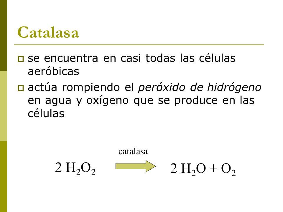 Catalasa se encuentra en casi todas las células aeróbicas actúa rompiendo el peróxido de hidrógeno en agua y oxígeno que se produce en las células 2 H