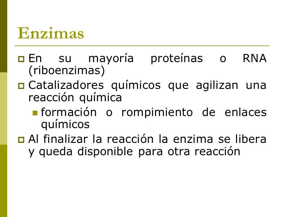 Enzimas En su mayoría proteínas o RNA (riboenzimas) Catalizadores químicos que agilizan una reacción química formación o rompimiento de enlaces químic