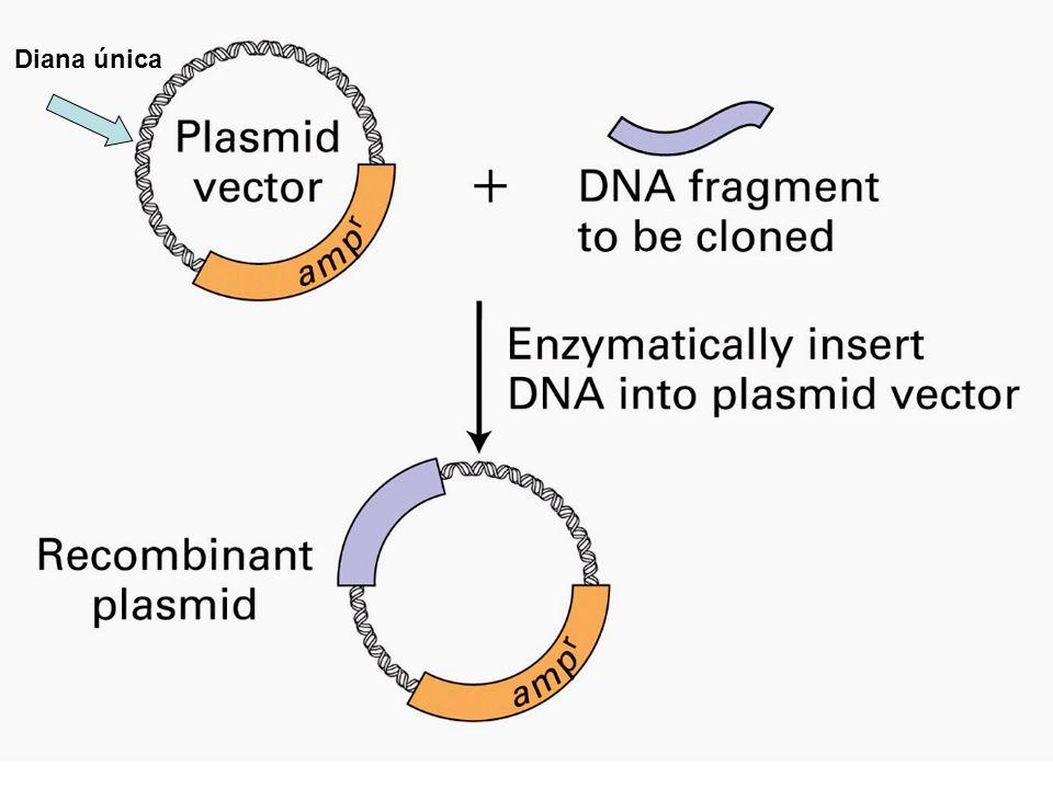 Probabilidad de corte 1/4 x 1/4x 1/4 x1/4= (1/4) 4 =1/256 (1/4) 6 = 1/4096 (1/4) 8 = 1/65536 ~ 12.5x10 6 fragmentos ~ 781250 fragmentos ~ 48828 fragmentos Nº fragmentos en genoma humano Enzimas de restricción nomenclatura 4 4 8 6 6 1/4