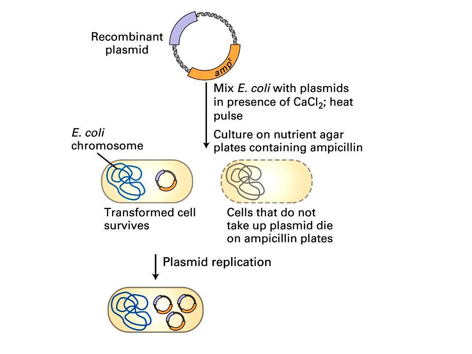 Características de los vectores de clonación Pequeño tamaño Marcador genético de selección Sitios únicos de restricción