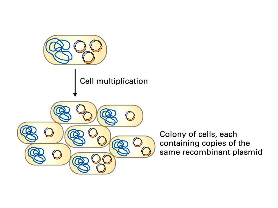 Plásmidos recombinantes Quimeras