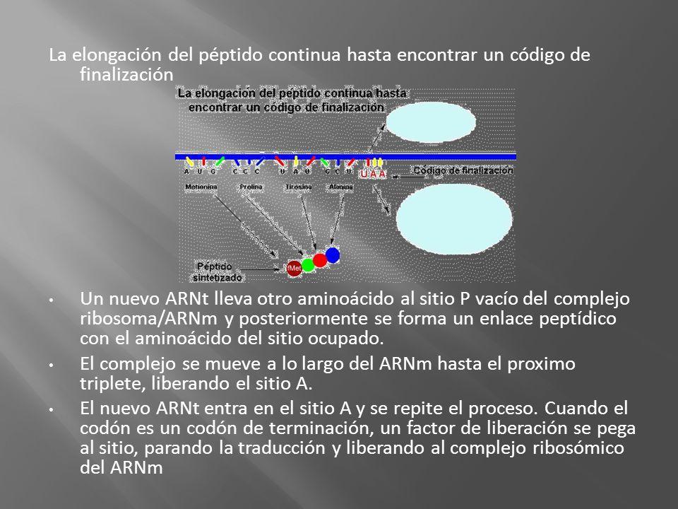 La elongación del péptido continua hasta encontrar un código de finalización Un nuevo ARNt lleva otro aminoácido al sitio P vacío del complejo ribosom