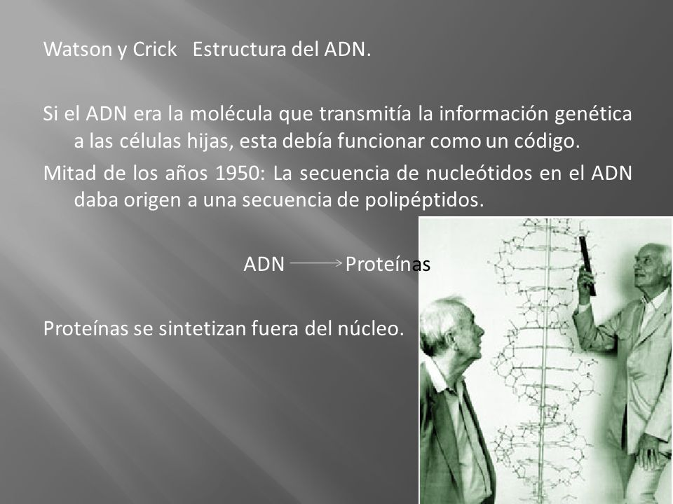Watson y Crick Estructura del ADN. Si el ADN era la molécula que transmitía la información genética a las células hijas, esta debía funcionar como un