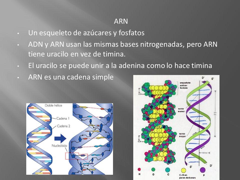 ARN Un esqueleto de azúcares y fosfatos ADN y ARN usan las mismas bases nitrogenadas, pero ARN tiene uracilo en vez de timina. El uracilo se puede uni