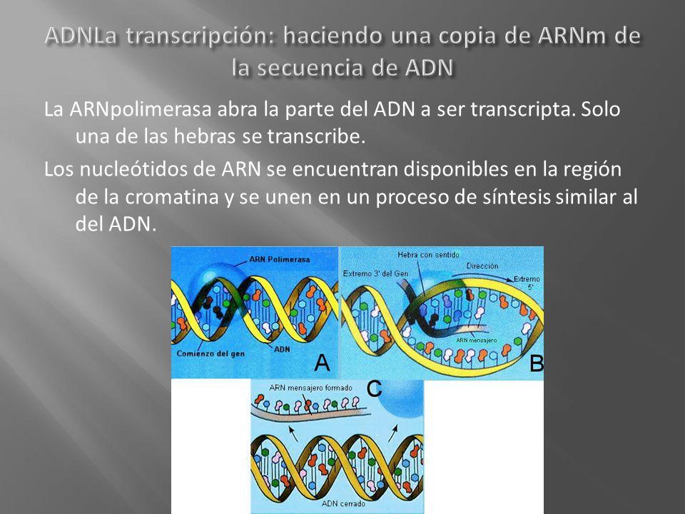 La ARNpolimerasa abra la parte del ADN a ser transcripta. Solo una de las hebras se transcribe. Los nucleótidos de ARN se encuentran disponibles en la