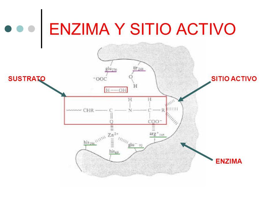 ENZIMA Y SITIO ACTIVO SITIO ACTIVOSUSTRATO ENZIMA