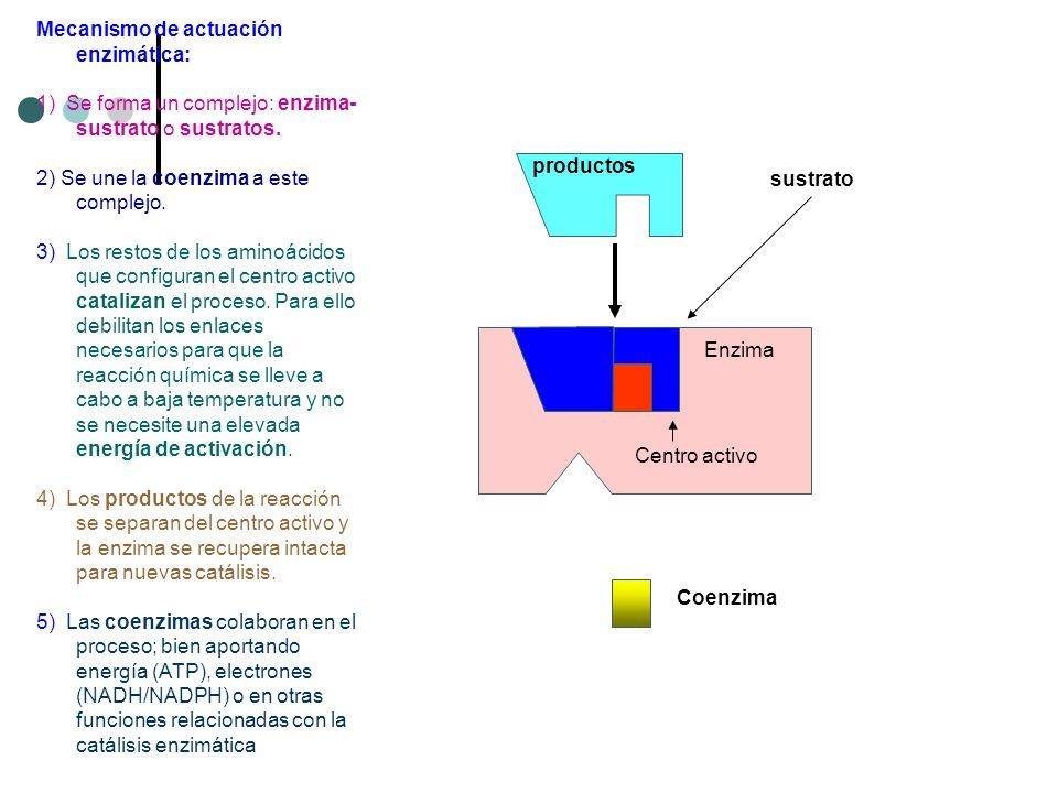 Enzima inactiva sustrato Enzima productos Coenzima Centro activo Mecanismo de actuación enzimática: 1) Se forma un complejo: enzima- sustrato o sustra