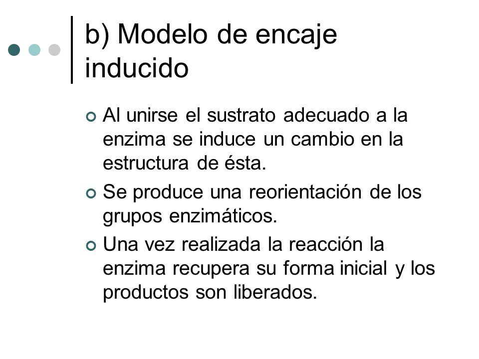 b) Modelo de encaje inducido Al unirse el sustrato adecuado a la enzima se induce un cambio en la estructura de ésta. Se produce una reorientación de