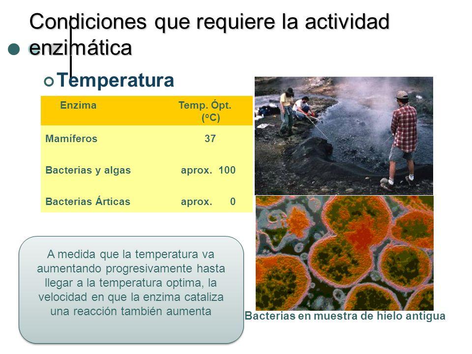 Condiciones que requiere la actividad enzimática Temperatura Enzima Temp. Ópt. ( o C) Mamíferos 37 Bacterias y algas aprox. 100 Bacterias Árticas apro