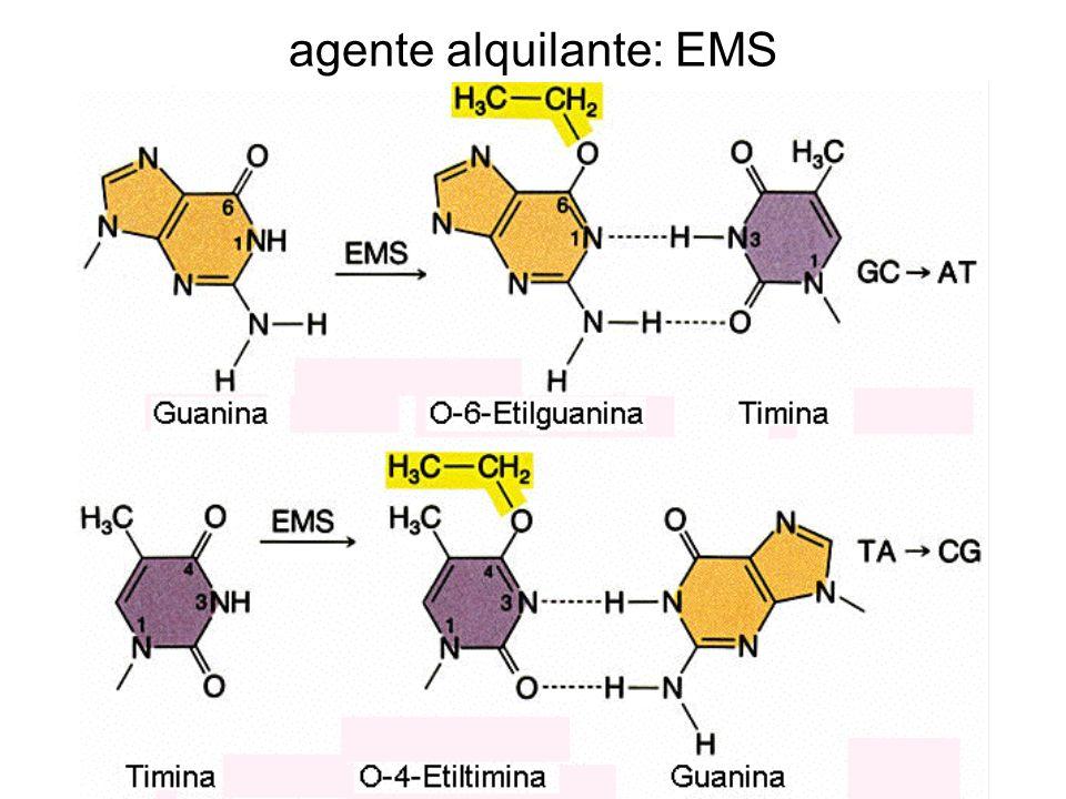 desaminación Adenina Citosina Hipoxantina ácido nitroso