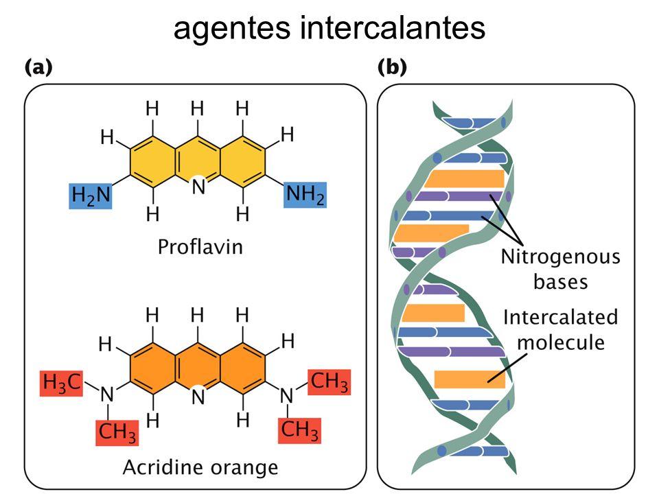 pérdida del emparejamiento específico Aflatoxina B: genera un sitio apurínico (se pierde la G) Reparación: frente a sitio apúrico -> A Mutación: GC -> TA (transversión)