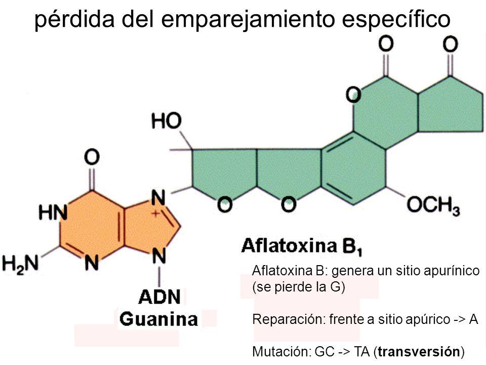 Análogos de bases: halouracilos, aminopurinas Agentes alquilantes: aziridinas, triazinas, mostazas, nitrosaminas, nitrosamidas, epóxidos, aldehidos, sulfatos alquílicos Derivados del nitrógeno: hidrazina, hidroxilamina Usos pesticidas (hidracina, Captán, DDT, Aramite, DDVP, Tepa, Afolate, Tiotepa, Hemel, Hempa) productos industriales (formaldehido, acetaldehido, acroleína, benceno, cloruro de vinilo, tricloroetileno, epiclorohidrina, fosgén, tetracloruro de carbono, hexaclorobenceno, etc.) aditivos de alimentos (cafeína, ciclamato, EDTA, isotiocianato de alilo, nitritos, bisulfito, cicasín, aflatoxinas, hidrocarburos aromáticos) antibióticos (mitomicina C, fleomicina, aminopterina, metrotexato, acriflavina, hidroxiurea, medlicina, negrama, mertiolato, etc) Mutágenos que fabricamos mutágenos que fabricamos