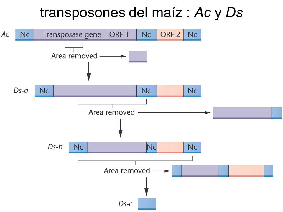 transposones del maíz : Ac y Ds