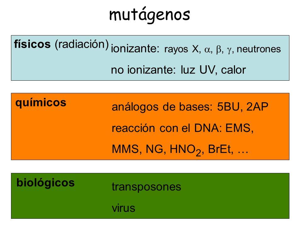 especificidad mutacional Agentes mutágenicos o mutágenos tienden a producir un determinado tipo de mutación, en un sitio concreto (puntos calientes), característica de cada mutágeno.