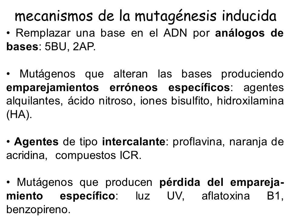 mutágenos químicos químicos análogos de bases: 5BU, 2AP reacción con el DNA: EMS, MMS, NG, HNO 2, BrEt, …