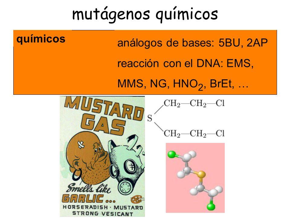 Remplazar una base en el ADN por análogos de bases: 5BU, 2AP.