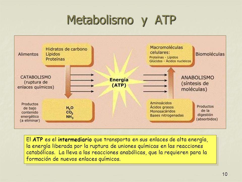 10 Metabolismo y ATP El ATP es el intermediario que transporta en sus enlaces de alta energía, la energía liberada por la ruptura de uniones químicas en las reacciones catabólicas.