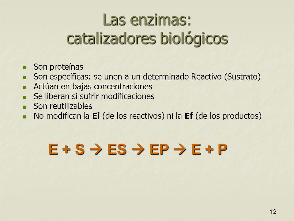 12 Las enzimas: catalizadores biológicos Son proteínas Son específicas: se unen a un determinado Reactivo (Sustrato) Actúan en bajas concentraciones Se liberan si sufrir modificaciones Son reutilizables No modifican la Ei (de los reactivos) ni la Ef (de los productos) E + S ES EP E + P