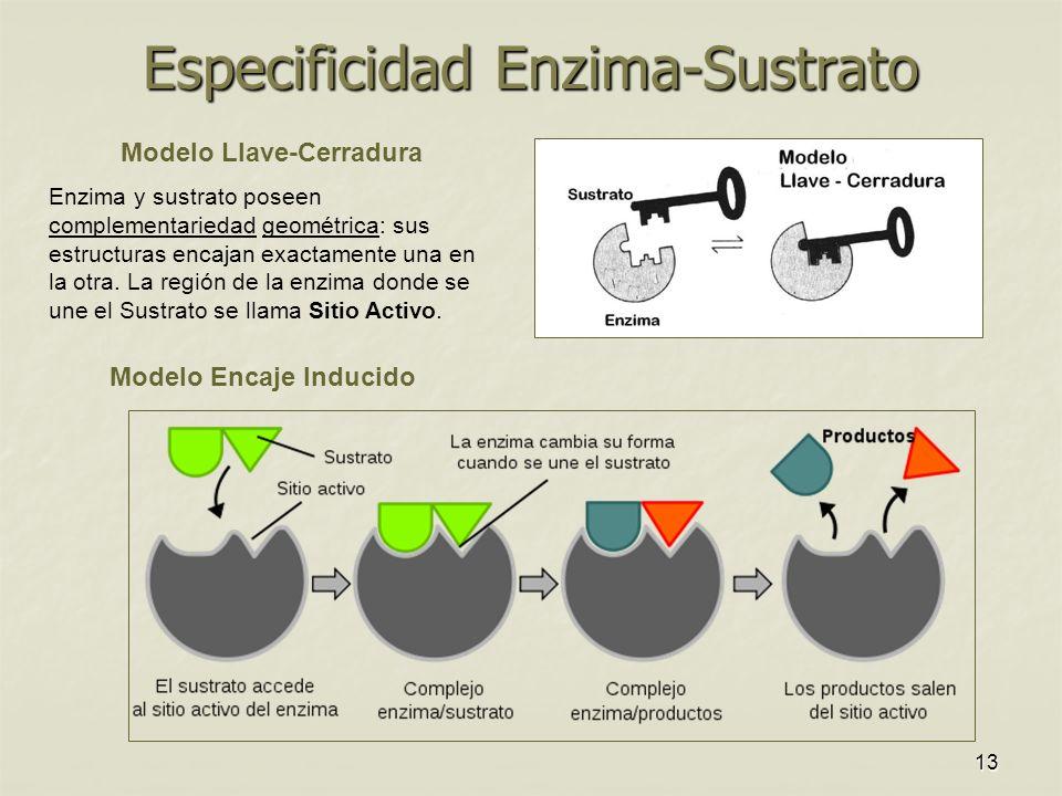 13 Especificidad Enzima-Sustrato Modelo Llave-Cerradura Enzima y sustrato poseen complementariedad geométrica: sus estructuras encajan exactamente una