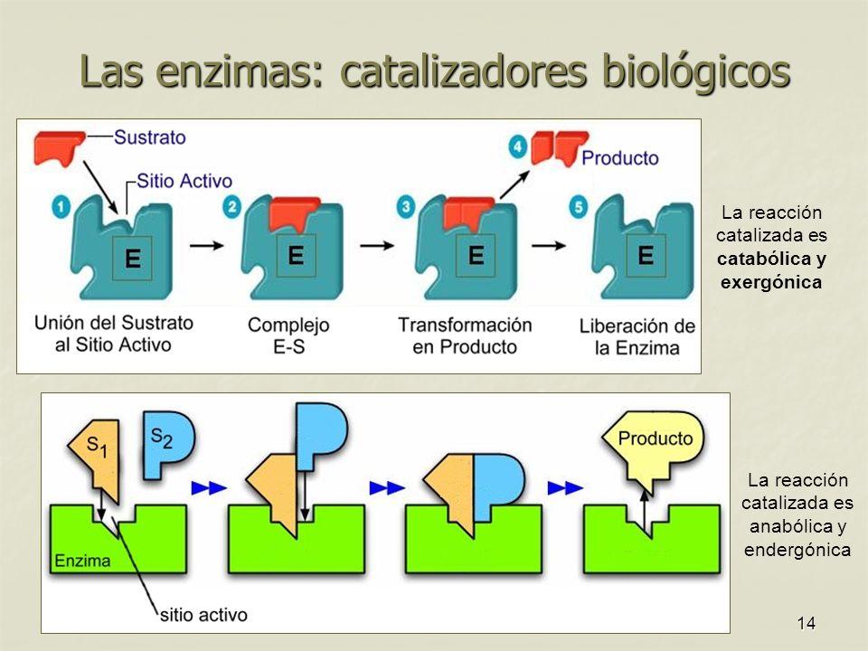 14 Las enzimas: catalizadores biológicos La reacción catalizada es anabólica y endergónica La reacción catalizada es catabólica y exergónica