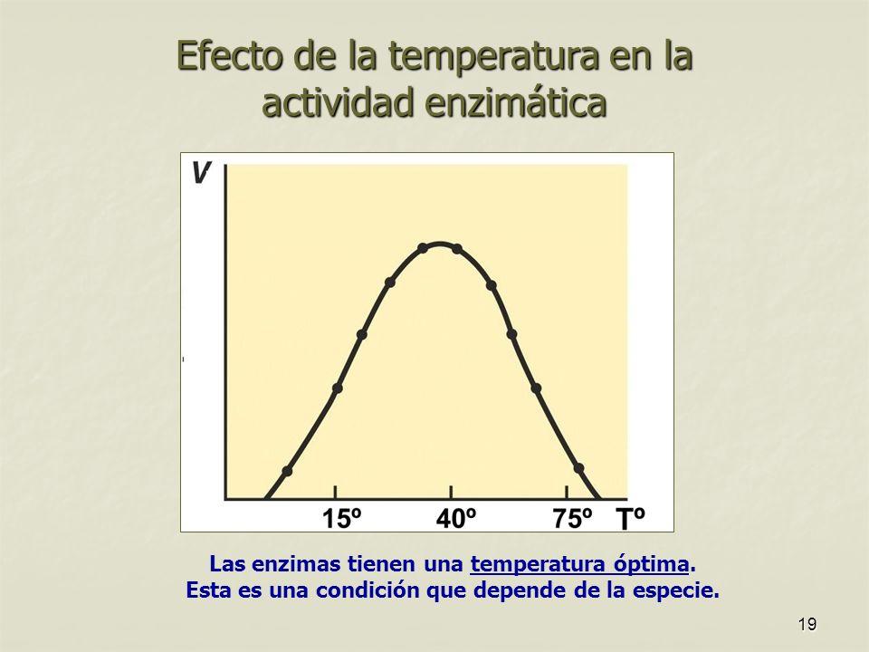 19 Efecto de la temperatura en la actividad enzimática Las enzimas tienen una temperatura óptima. Esta es una condición que depende de la especie.