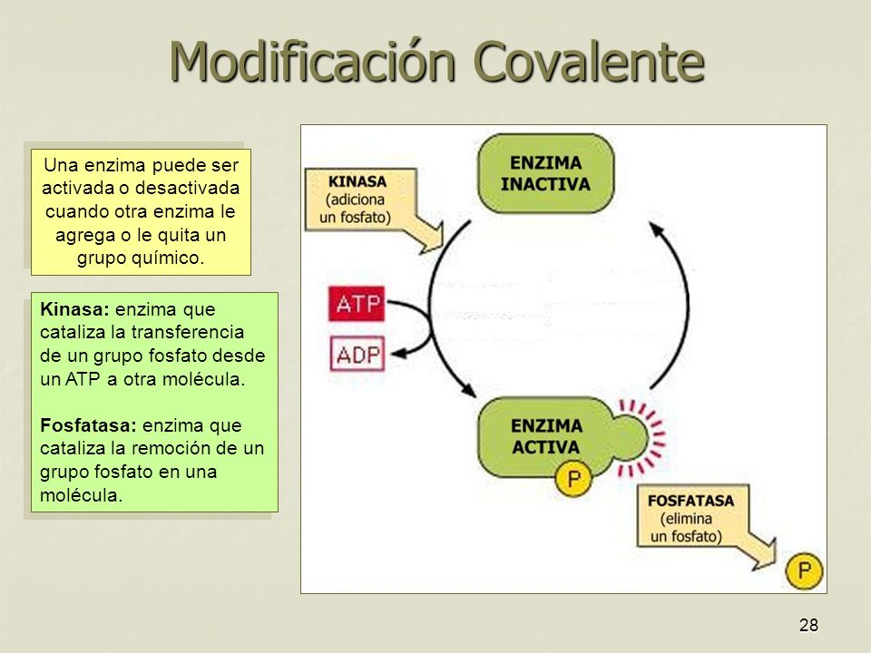 28 Modificación Covalente Una enzima puede ser activada o desactivada cuando otra enzima le agrega o le quita un grupo químico. Kinasa: enzima que cat