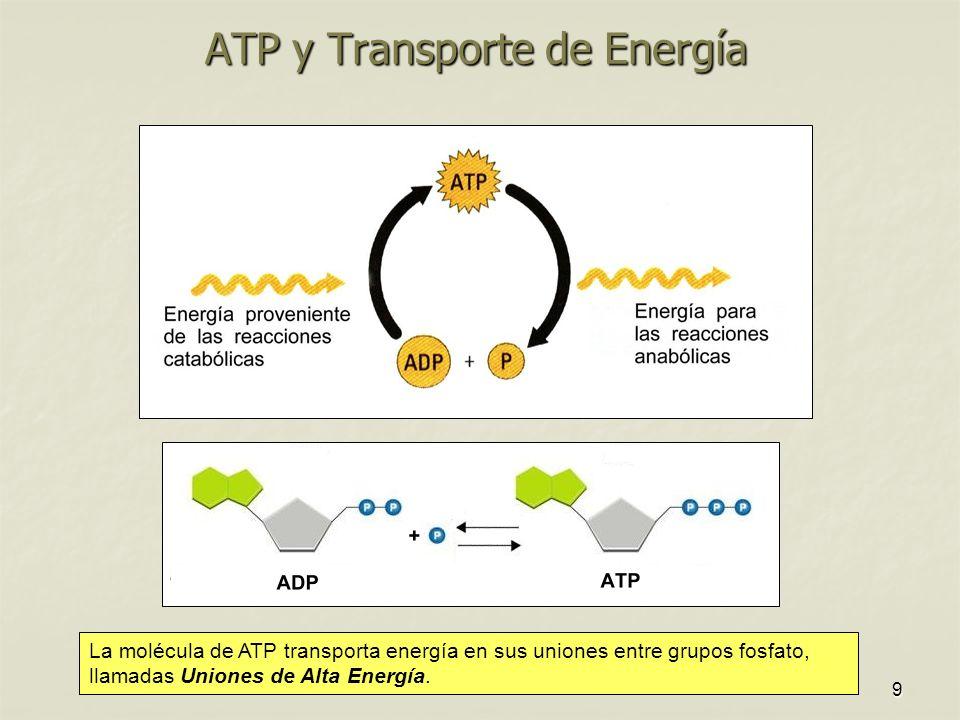 9 ATP y Transporte de Energía La molécula de ATP transporta energía en sus uniones entre grupos fosfato, llamadas Uniones de Alta Energía.