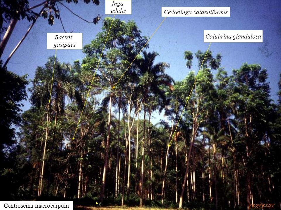 Cedrelinga cataeniformis Colubrina glandulosa Bactris gasipaes Inga edulis Centrosema macrocarpum regresar