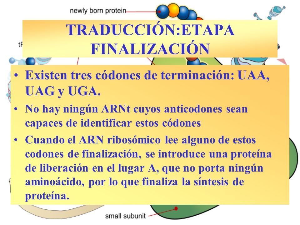 TRADUCCIÓN:ETAPA FINALIZACIÓN Existen tres códones de terminación: UAA, UAG y UGA. No hay ningún ARNt cuyos anticodones sean capaces de identificar es