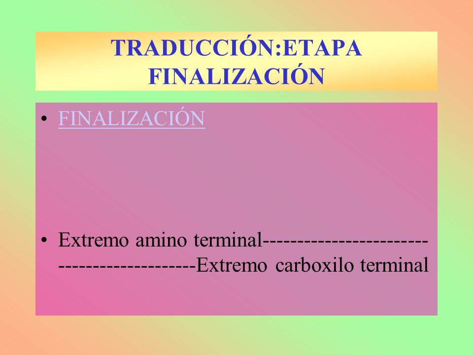 FINALIZACIÓN Extremo amino terminal------------------------ --------------------Extremo carboxilo terminal TRADUCCIÓN:ETAPA FINALIZACIÓN