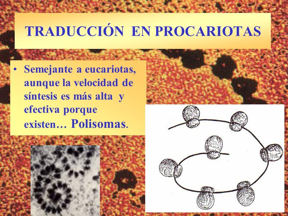 TRADUCCIÓN EN PROCARIOTAS Semejante a eucariotas, aunque la velocidad de síntesis es más alta y efectiva porque existen… Polisomas.