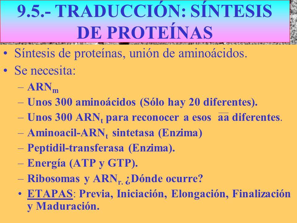9.5.- TRADUCCIÓN: SÍNTESIS DE PROTEÍNAS Síntesis de proteínas, unión de aminoácidos. Se necesita: –ARN m –Unos 300 aminoácidos (Sólo hay 20 diferentes