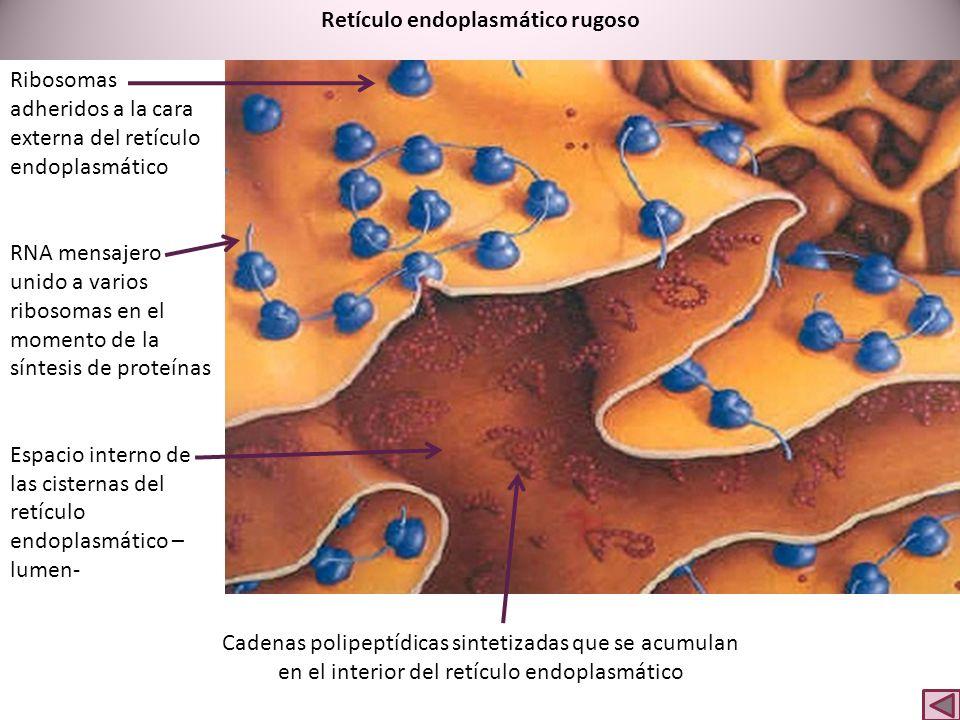 Retículo endoplasmático rugoso Ribosomas adheridos a la cara externa del retículo endoplasmático RNA mensajero unido a varios ribosomas en el momento