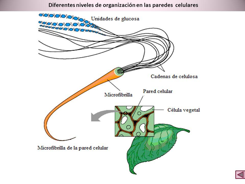 Diferentes niveles de organización en las paredes celulares