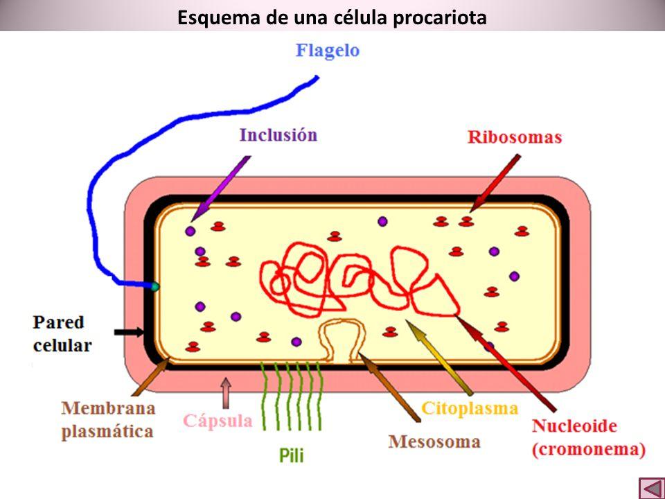 Esquema de una célula animal Lisosoma