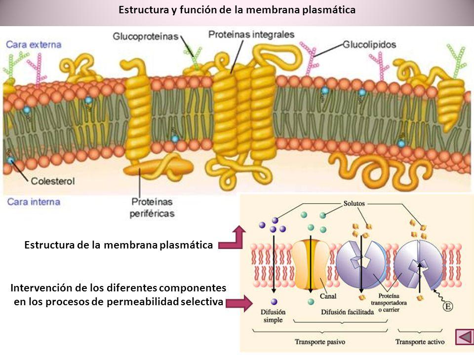 Estructura de la membrana plasmática Intervención de los diferentes componentes en los procesos de permeabilidad selectiva Estructura y función de la membrana plasmática