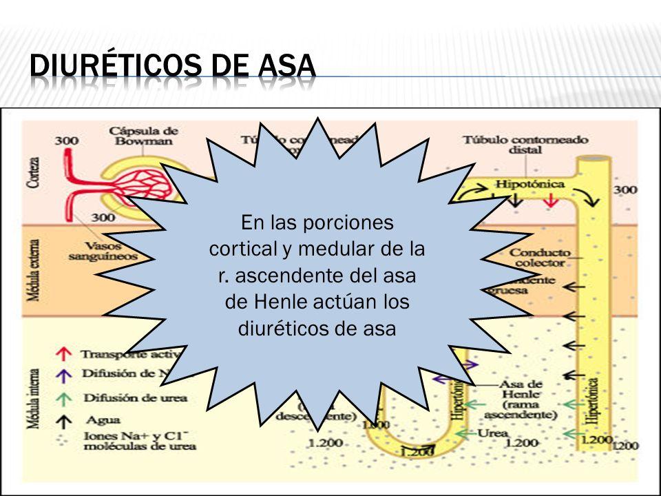 En las porciones cortical y medular de la r. ascendente del asa de Henle actúan los diuréticos de asa