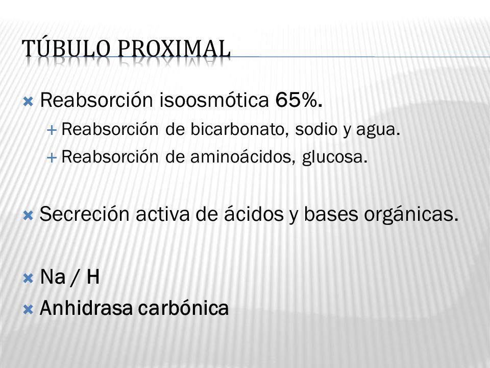 Reabsorción isoosmótica 65%. Reabsorción de bicarbonato, sodio y agua. Reabsorción de aminoácidos, glucosa. Secreción activa de ácidos y bases orgánic