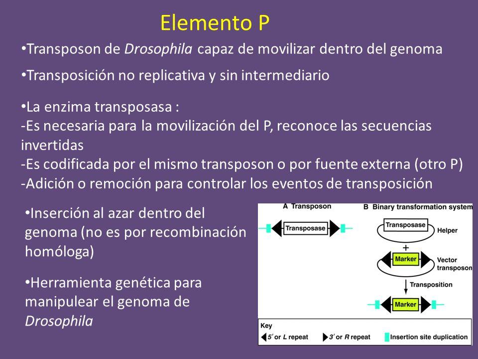 Elemento P Transposon de Drosophila capaz de movilizar dentro del genoma La enzima transposasa : -Es necesaria para la movilización del P, reconoce la