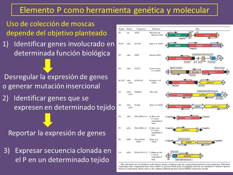 Elemento P como herramienta genética y molecular 1)Identificar genes involucrado en determinada función biológica Reportar la expresión de genes Desre