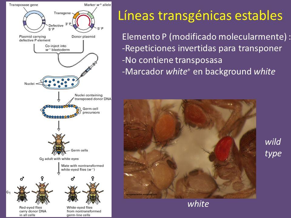 Líneas transgénicas estables white wild type Elemento P (modificado molecularmente) : -Repeticiones invertidas para transponer -No contiene transposas