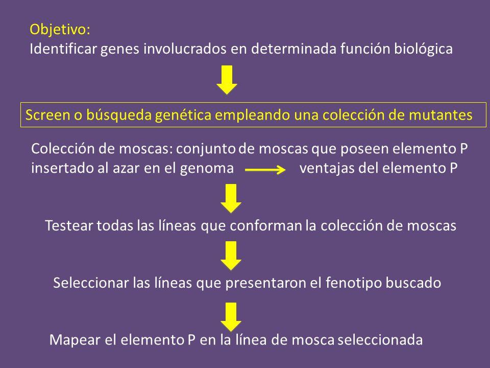 -genético (cromosoma, región) -citológico (hibridación in situ en cromosomas politénicos) -molecular (rescate plasmídico) Digestión del DNA genómico Ligación Amplificación por PCR con primers específicos en el P Secuenciación Identificar el sitio de inserción en el genoma de Drosophila Mapeo del sitio de inserción del P dentro del genoma Rescate plasmídico: