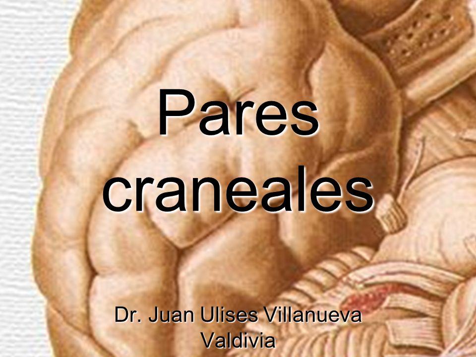Pares craneales Son nervios que están en comunicación con el encéfalo y atraviesan los orificios de la base del cráneo con la finalidad de inervar diferentes estructuras.